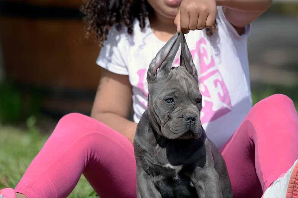 Cane Corso puppy for sale in New Hampshire and breeder of Italian mastiff in Concord