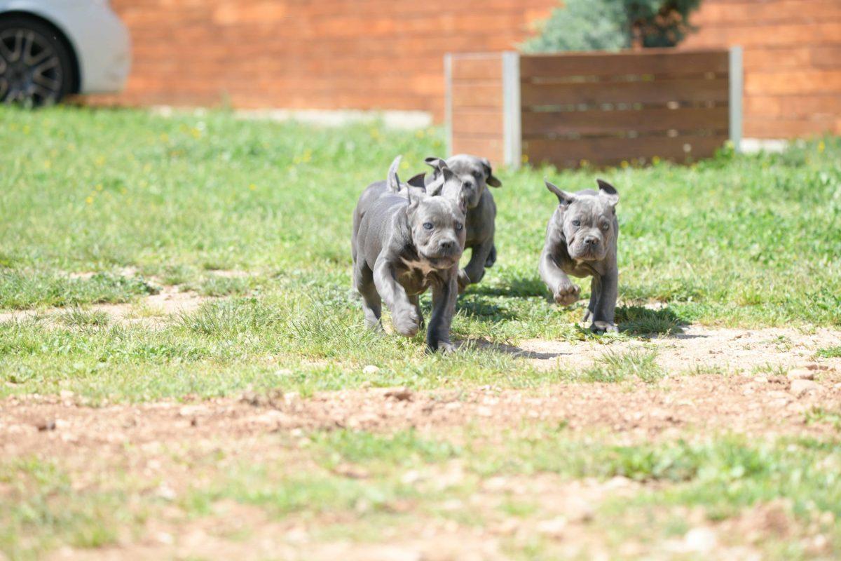 Cane corso puppy for sale in Mariland and breeders of italian Mastiff in Baltimore