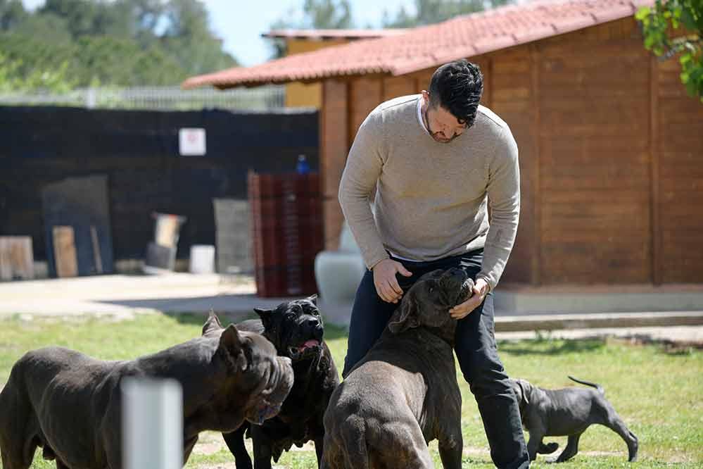 Comprar perro cane corso Italiano en Galicia y Cachorros de cane corso en la Toja