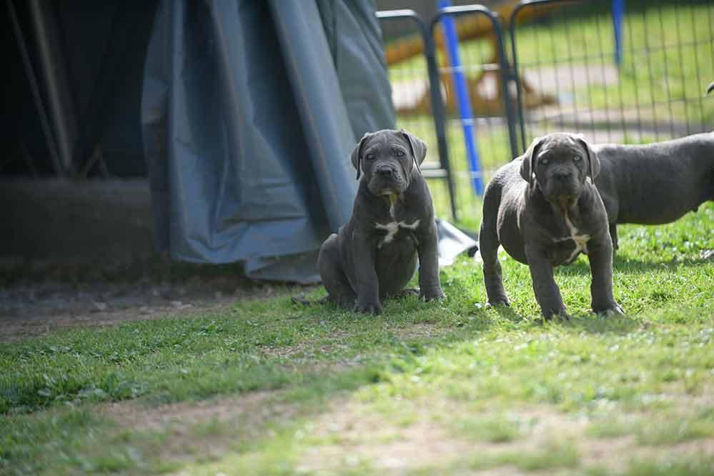 Criadores de cane corso y Venta de Cahorros de cane corso Italino
