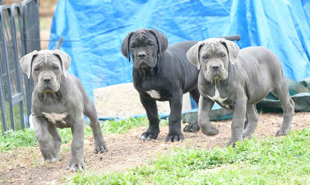 Donde comprar cachorros de cane corso italiano y Criadores de Canecorso