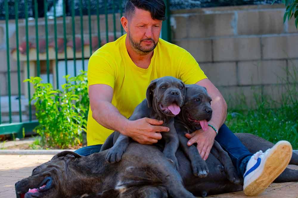El Cane Corso italiano perro de guardia y de familia en España
