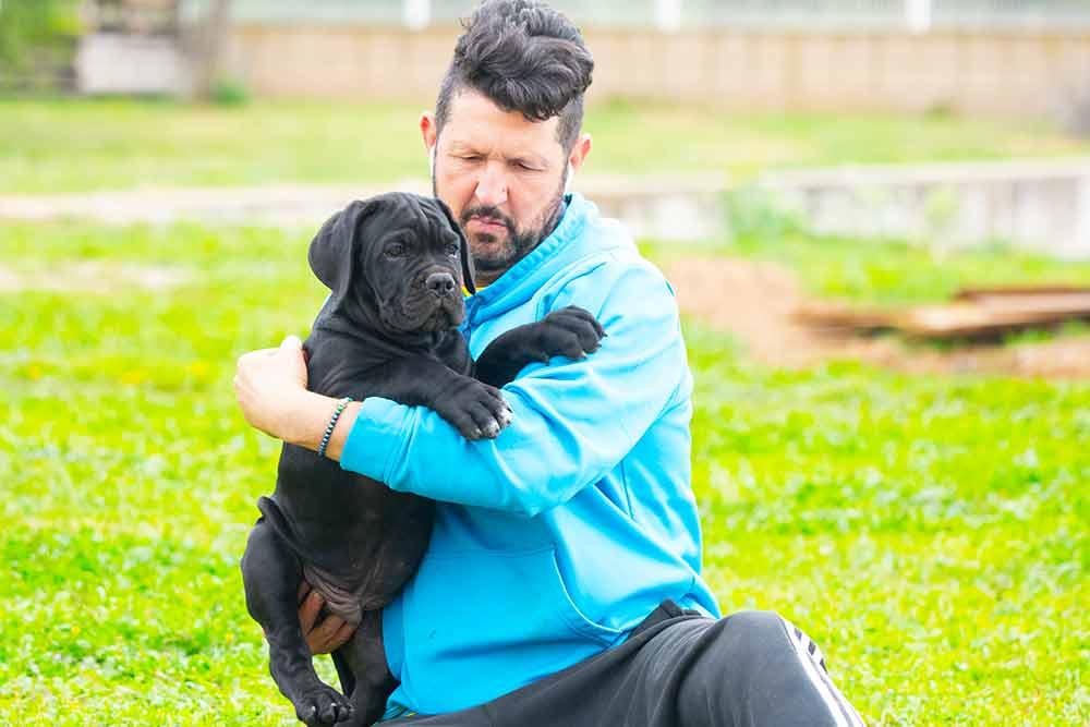 El Cane Corso o mastín italiano el gran desconocido de la razas de perros en España