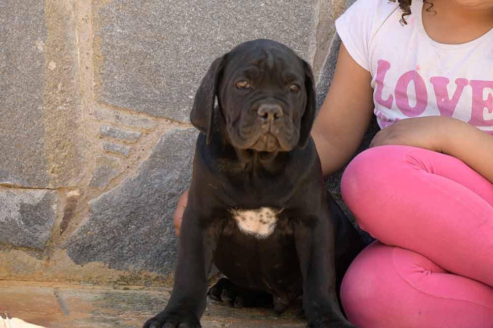 El cane corso Italiano-Mastín italiano en España