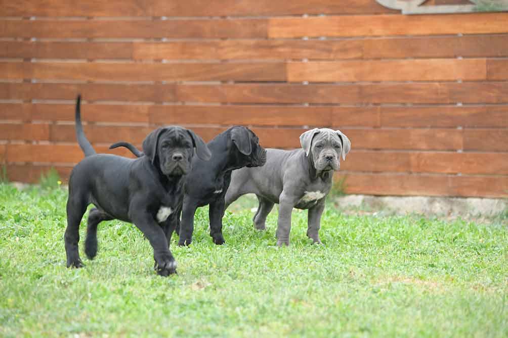 Nuestro parque para cachorros de Cane Corso Italiano