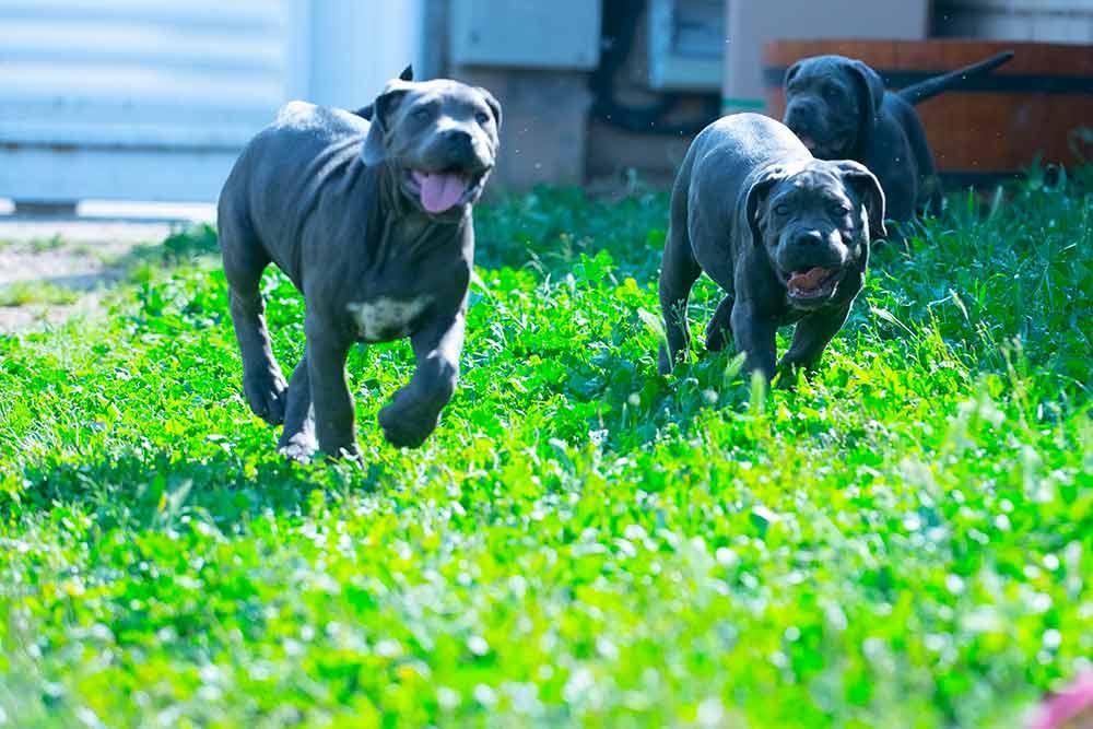 Nueva camada de cachorros de Cane Corso y Criadores de perro Cane Corso Italiano