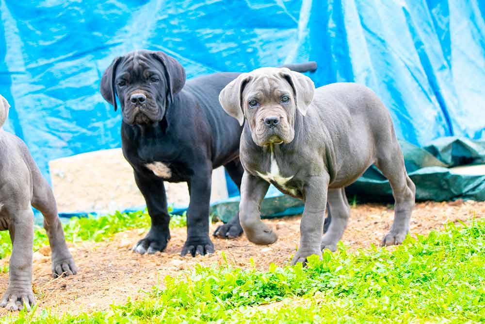 Venta de cachorros de Cane Corso en Mallorca y Criadores de Cane Corso Italiano