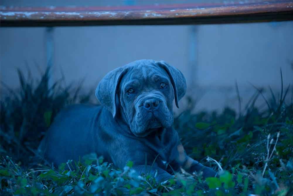 Venta de cachorros de cane corso en Santiago de Chile y Criadores de Cane Corso Italiano en Chile