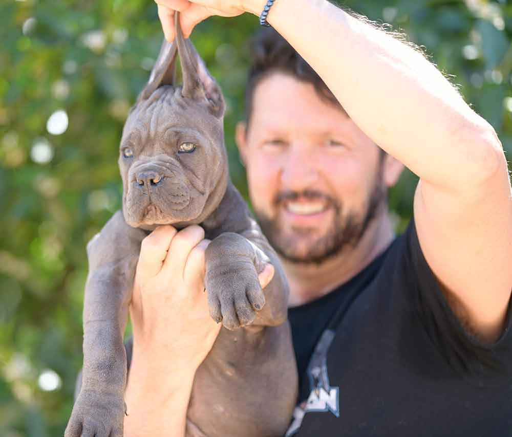 buy cane corso puppies in Lakewood and breeders of Italian mastiff in Colorado