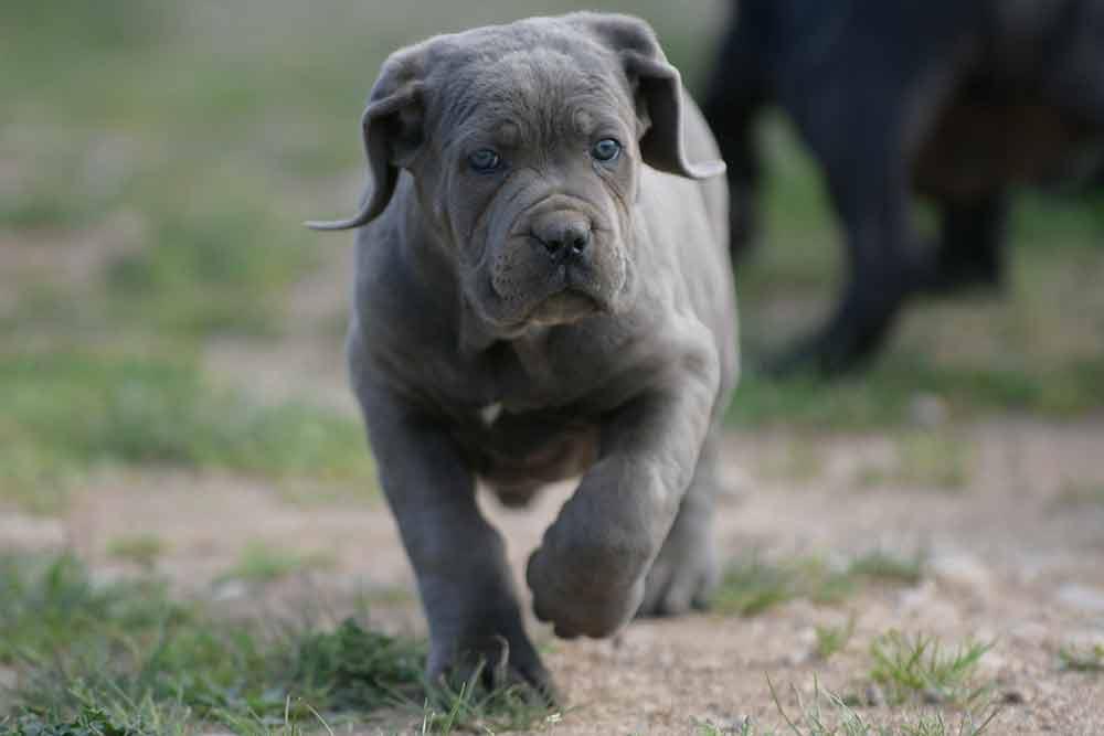 cane corso puppy for sale in Bellevue and breeders of Italian Cane Corso in Washington