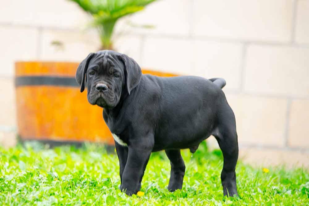 cane corso puppy for sale in Bridgeport-Connecticut