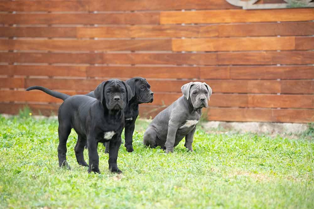 cane corso puppy for sale in Hayward-CA