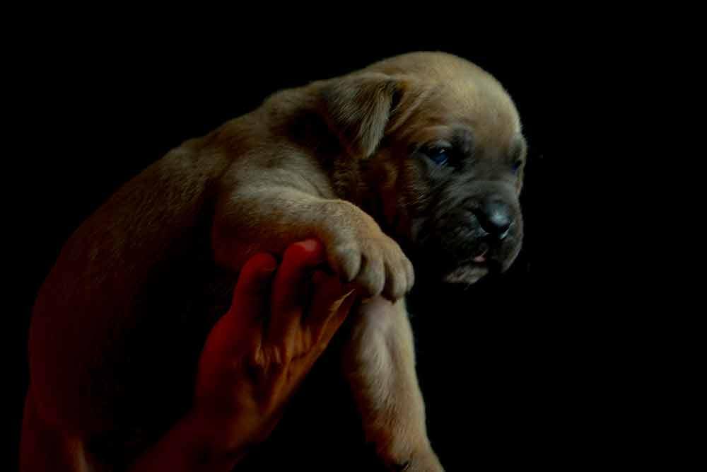 cane corso puppy for sale in Watsonville and buy Italian mastiff puppies in Ca-California