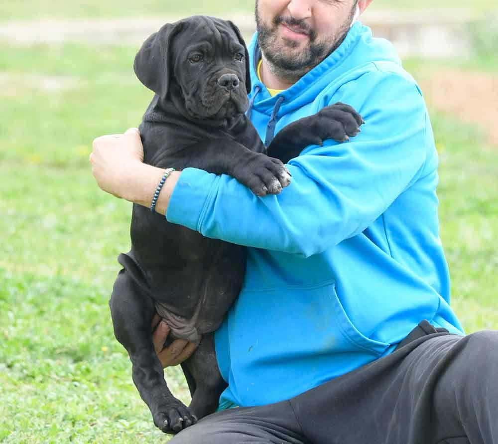 cane corso puppy in Oregon and breeders of italian Mastiff