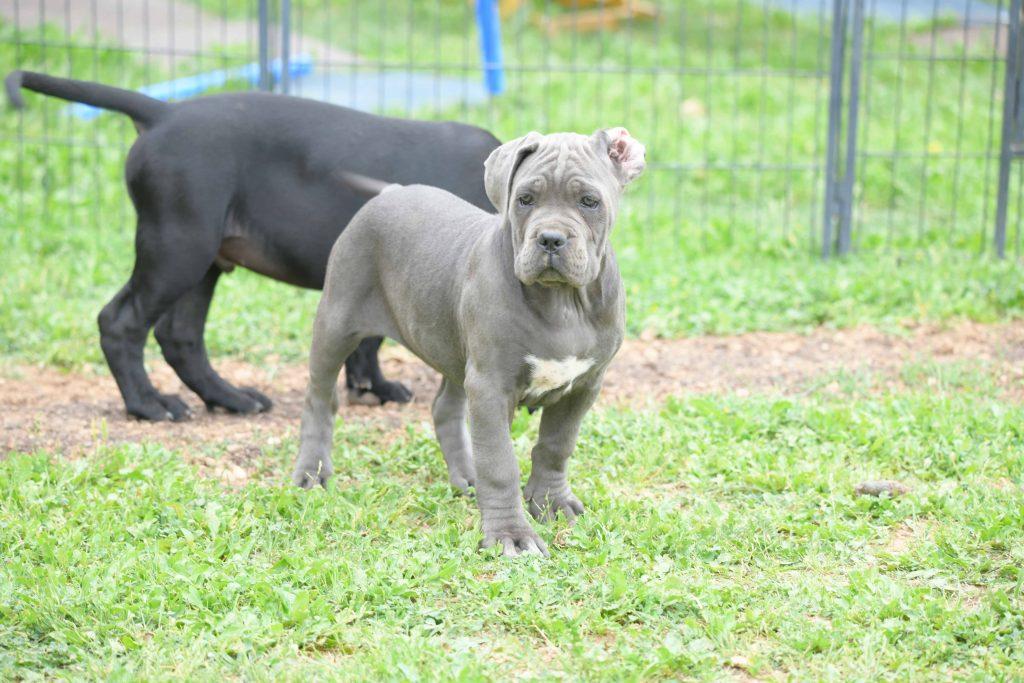 comprar cachorros de cane corso italiano y breeders canecorso in Bahamas