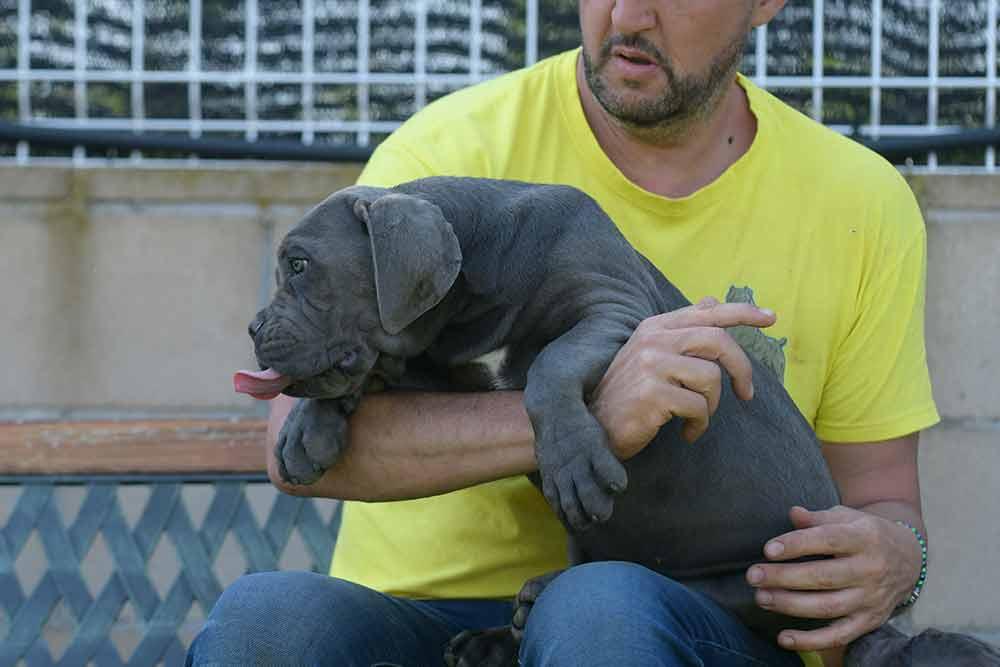 comprar cane corso italiano en Santiago de Veraguas y Venta de cachorros de Cane Corso en Panama