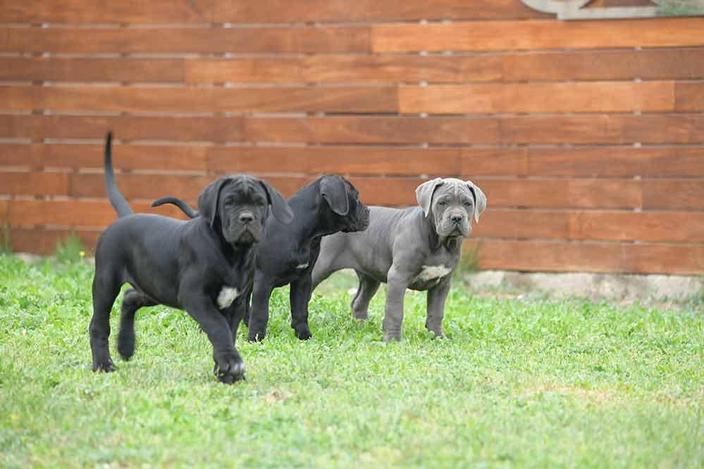 for sale cane corso puppy in pasadena and breeders of italian mastiff in LA