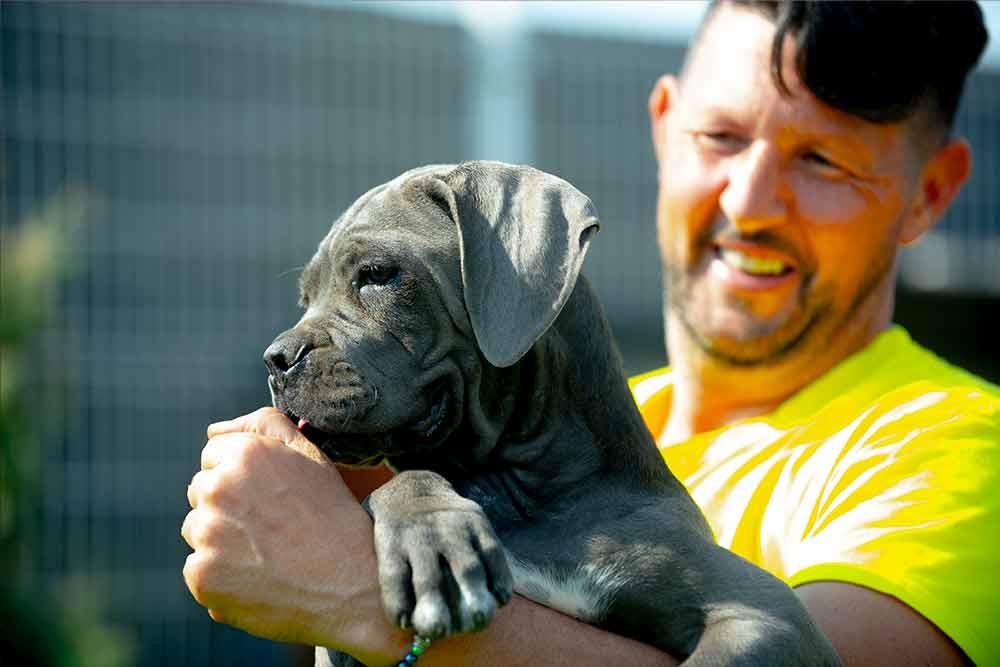 venta de Cachorros de perro Cane Corso en Filipinas y Criadores de cane Cane Corso en Manila