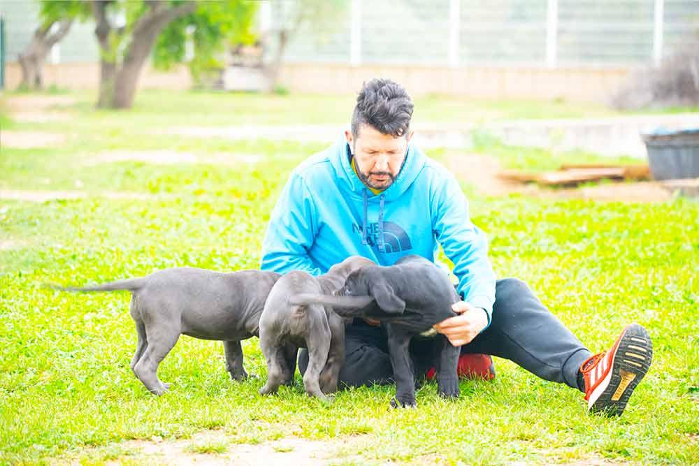 venta de cachorros de Cane Corso en La Moraleja-Madrid