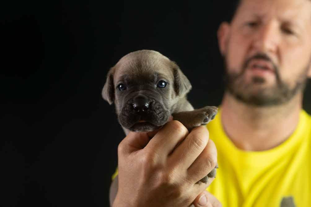 venta de cachorros de Cane Corso en las Rozas- Madrid