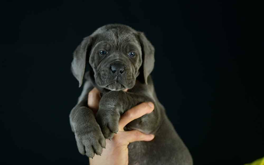 where buy cane corso and for sale Italian mastiff puppies in Delaware1