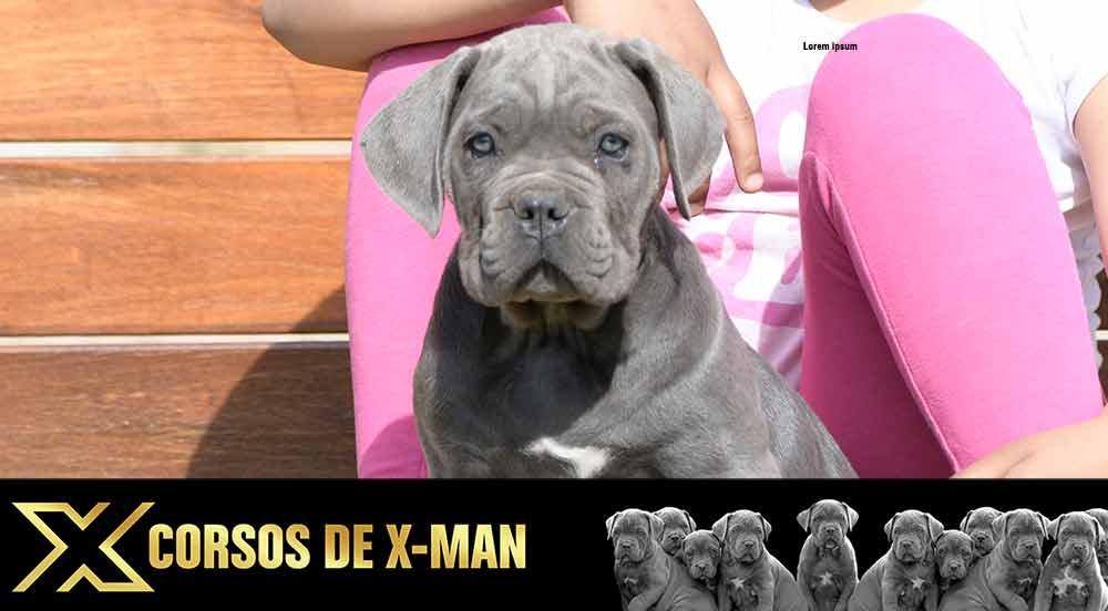 Cane Corso puppy for sale in Georgia and buy Italian mastiff puppies in Atlanta
