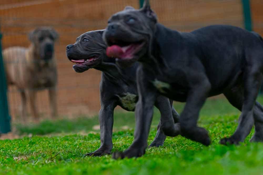 Donde comprar cachorros de Cane Corso en Benidorm y criadores de perro Cane Corso en Alicante