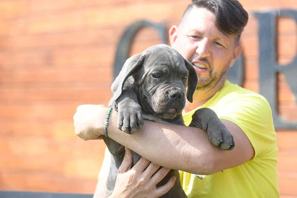 Donde comprar cachorros de Cane Corso en Calpe y Venta de cachorros de Cane Corso Italiano en Alicante