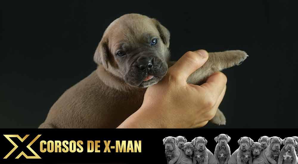 El Cane Corso el todoterreno de las razas de perros