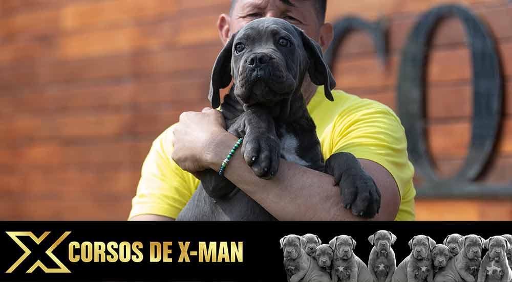 Venta de Cachorros de mastin italiano en Madrid