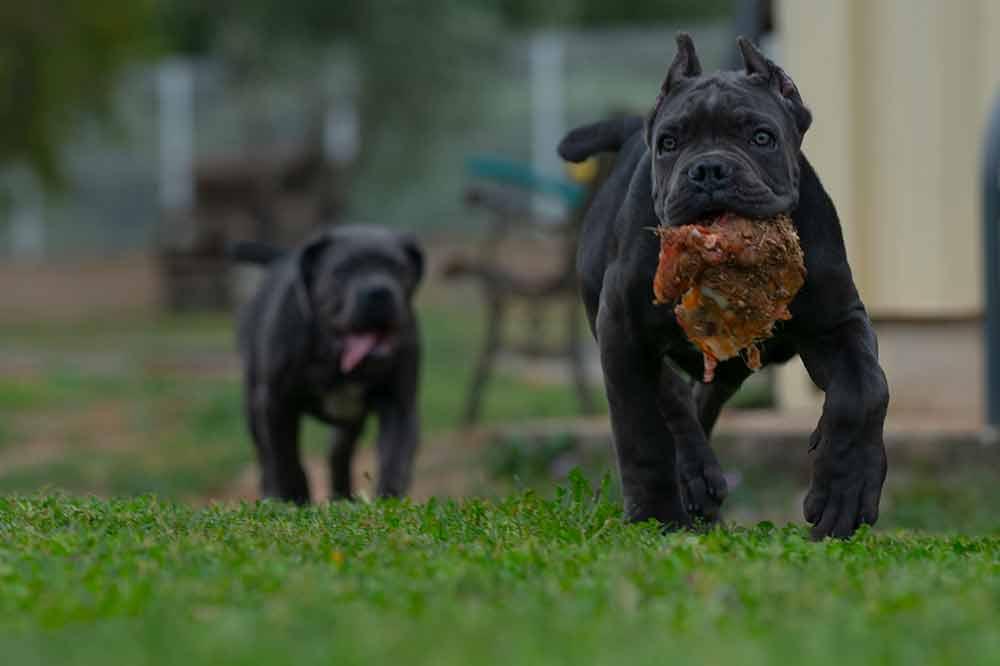 cane corso puppy for sale in Albuquerque and breeders of Italian mastiff in New Mexico