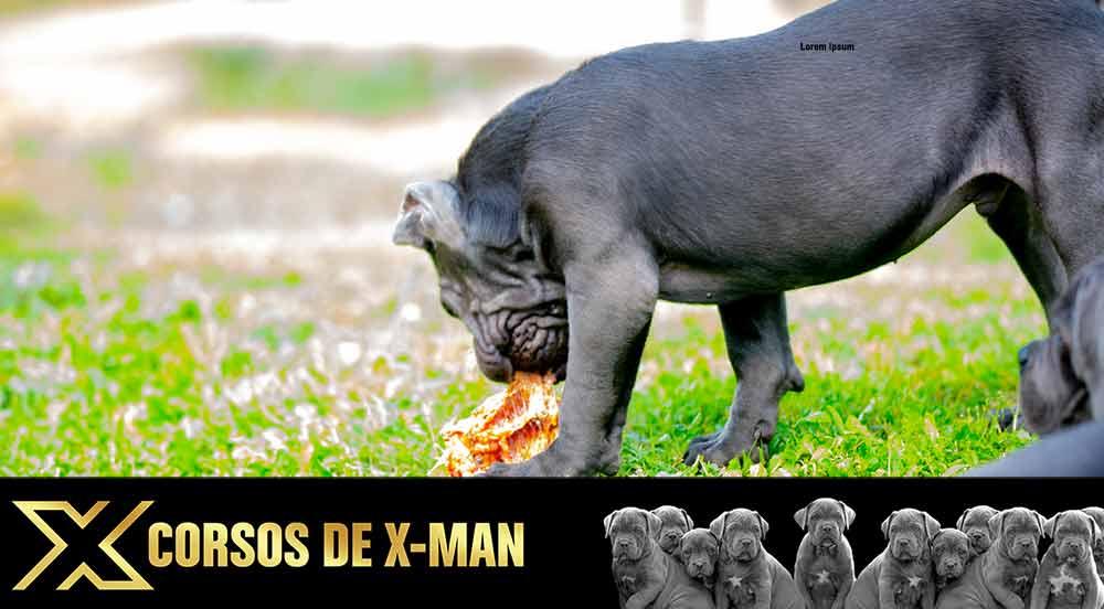comprar cachorros de mastin Italiano en España