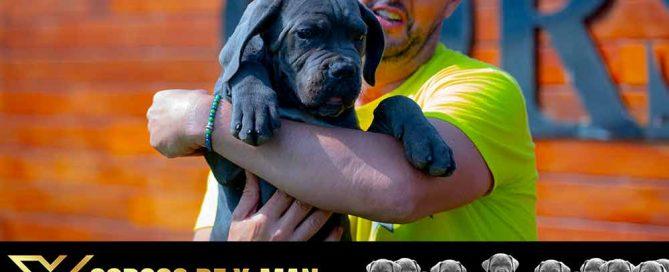 comprar perro Cane Corso Italiano en Las Rozas y Venta de cachorros de Cane Corso en Madrid