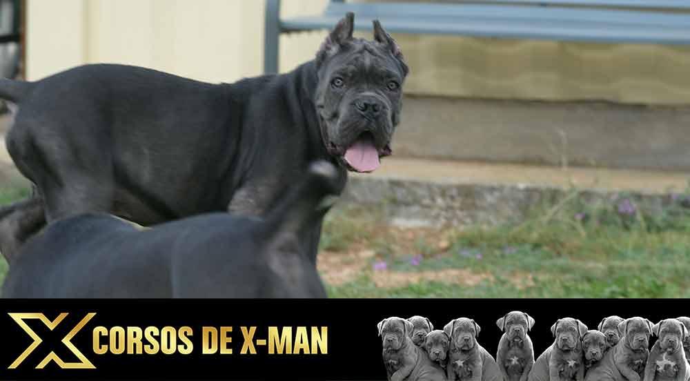 venta de cachorros de Cane Corso Italiano en España