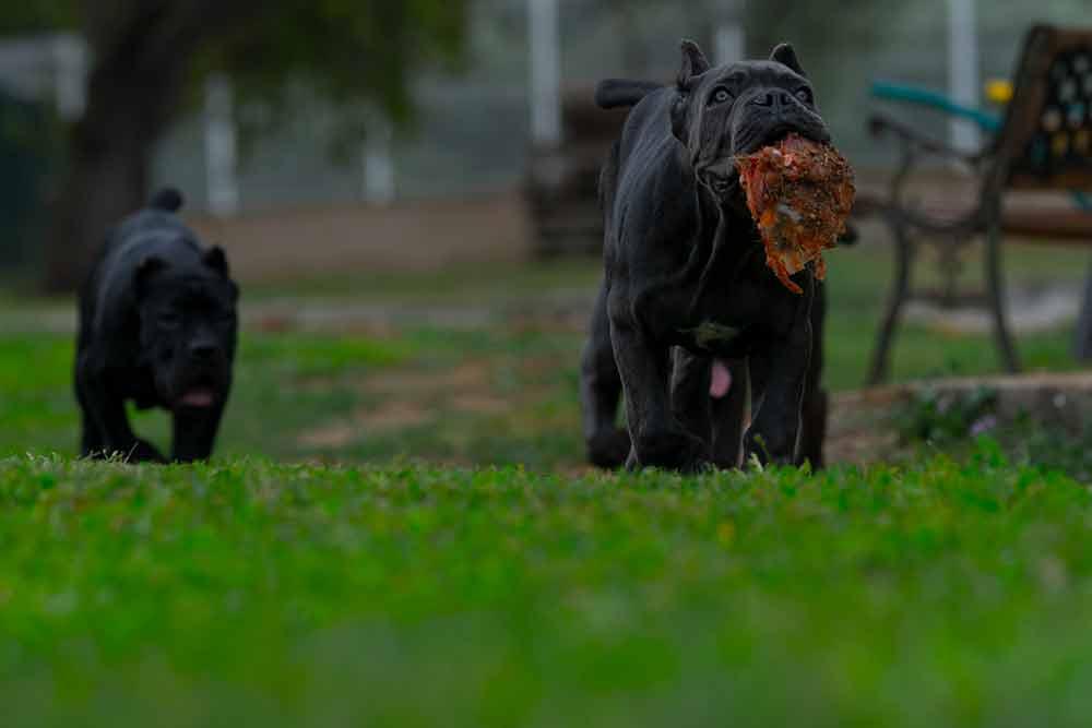 venta de cachorros de Cane Corso en Torrevieja y criadores de Cane Corso Italiano en Alicante