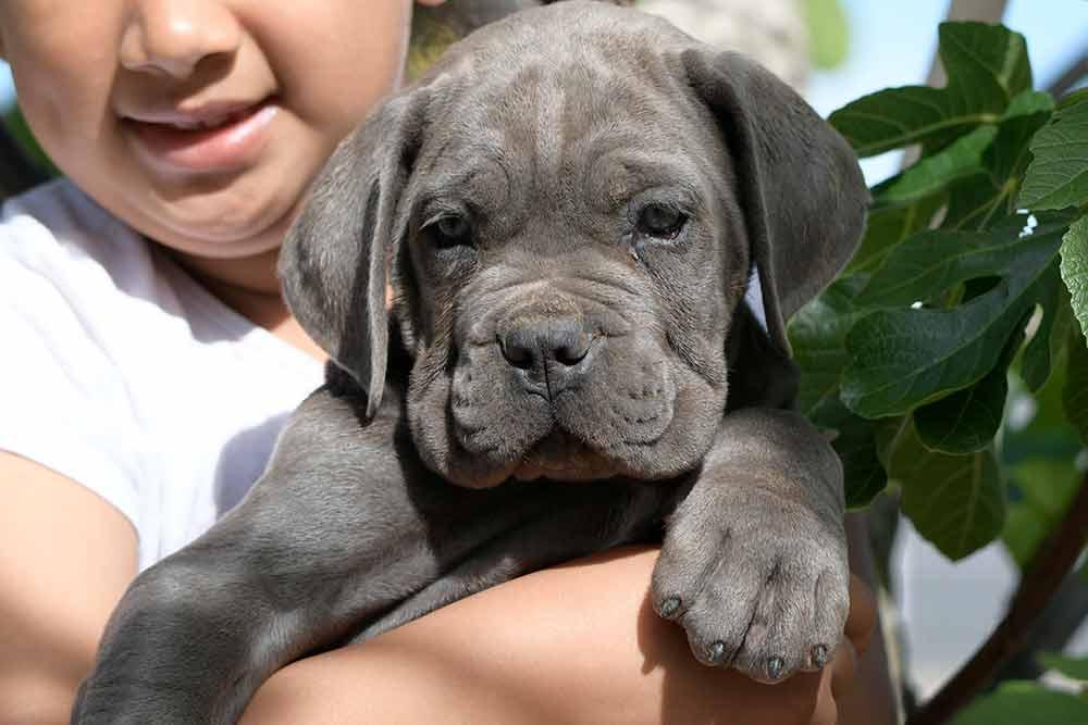 venta de cachorros de perro Cane Corso en Pozuelo de Alarcón y Criadores de Cane Corso en Madrid