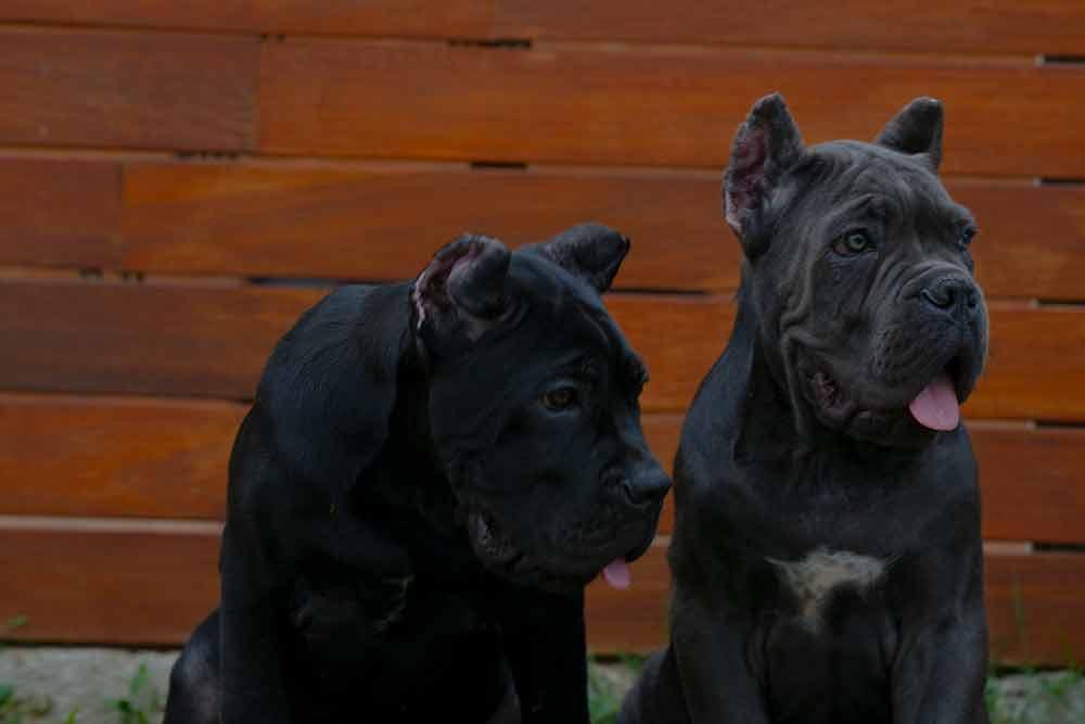 where buy Cane Corso puppy for sale in Santa Fe and breeders of Italian mastiff in New Mexico