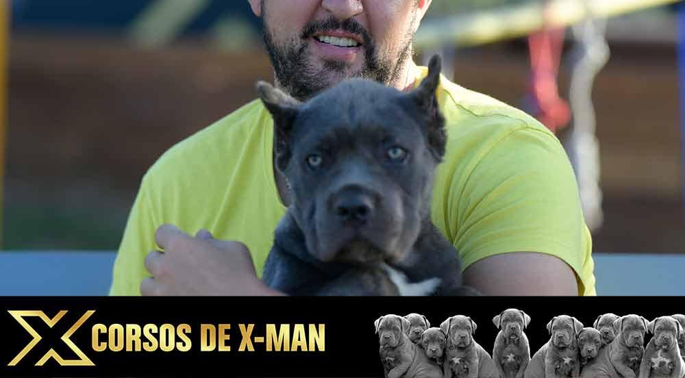 Comprar Cachorros en venta de Cane Corso en Madrid Pozuelo de Alarcón
