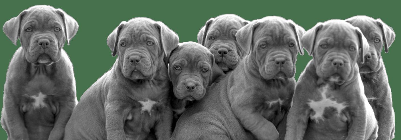 Cachorros de Mastín italiano en venta