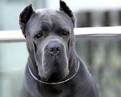 price Italian Mastiff for sale Uk