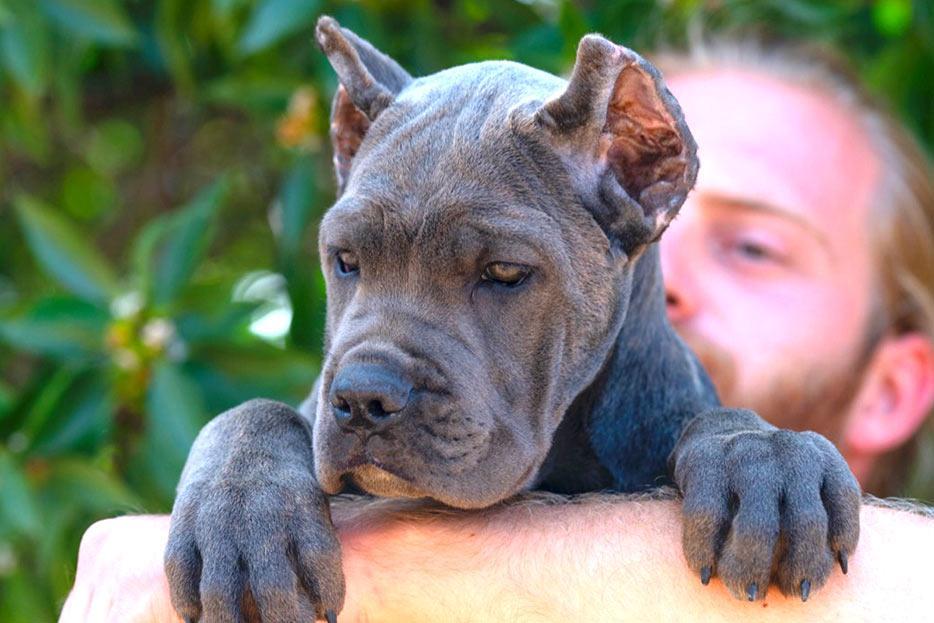 Italian Mastiff puppies for sale UK price